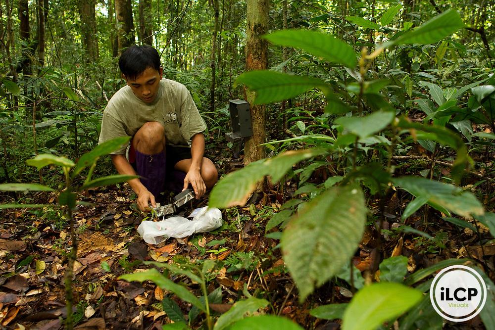 Bornean Clouded Leopard (Neofelis diardi borneensis) researcher Nuh Engoh checking camera trap, Tawau Hills Park, Sabah, Borneo, Malaysia