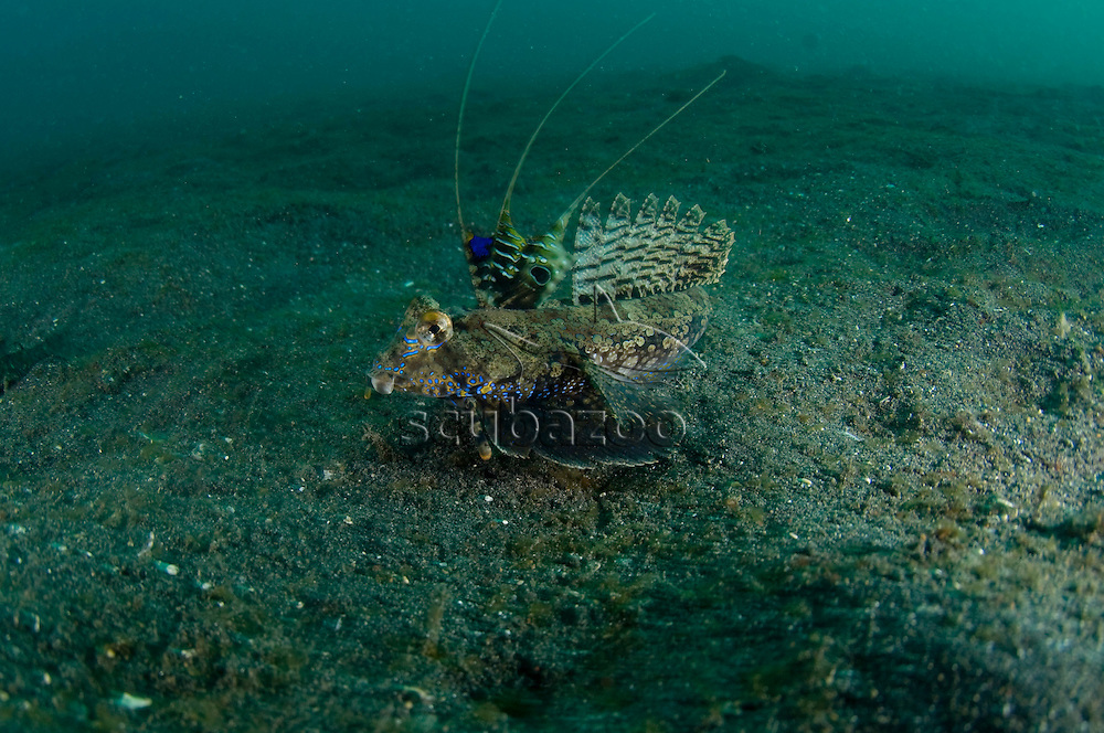 Male Fingered Dragonet, Dactylopus dactylopus, walking on sand, KBR, Lembeh Strait, Sulawesi, Indonesia.