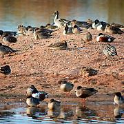 Birds at rest on a small island - Riparian Preserve, Gilbert, AZ