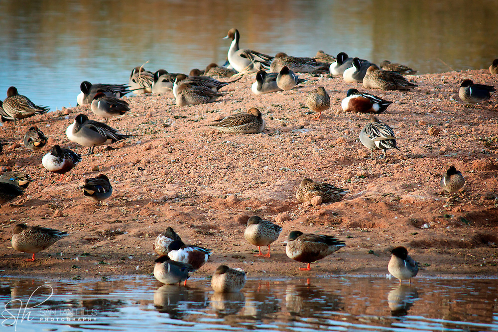 Birds at rest on a small island - Riparian Preserve, Gilbert, AZ