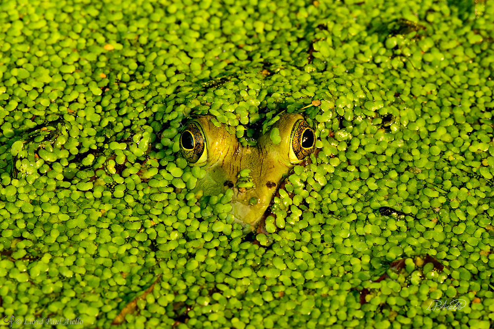 An American Bullfrog (Rana catesbeiana) reveals only a heart-shaped head through a carpet of Duckweed (Lemnaceae) completely covering a small pond.<br /> <br /> The bullfrog is native to eastern North America with a natural range from the Atlantic Coast to as far west as Oklahoma and Kansas.  However, it has been introduced elsewhere where it is considered an invasive species, including Arizona, Utah, Colorado, Nebraska, Nevada, California, Oregon, Washington, Hawaii, Mexico, Canada, Cuba, Jamaica, Italy, Netherlands, France, Argentina, Brazil, Uruguay, Venezuela, Colombia, China, South Korea and Japan.  In some areas, the bullfrog is used as a food source.  <br /> <br /> Bullfrogs are voracious, ambush predators that eat any small animal they can stuff down their throats. Bullfrog stomachs have been found to contain rodents, reptiles, amphibians, crayfish, birds, bats, fish, tadpoles, snails and their usual food &ndash; insects.  Bullfrogs are able to jump a distance 10x their body length.  The female lays up to 20,000 eggs at a time that form a thin, floating sheet which may cover an area of 0.5 -1 m2 (5.4 - 10.8 sq ft). The embryos hatch in 3 - 5 days. Time to metamorphize into an adult frog ranges from a few months in the southern part of their range to 3 years in the north where the colder water slows development.  Maximum lifespan in the wild is 8 - 10 years, but one bullfrog lived for almost 16 years in captivity.<br /> <br /> Duckweed (Lemnoideae) are small flowering aquatic plants which float on or just beneath the surface of still or slow-moving bodies of fresh water. These plants lack obvious stems or leaves, and depending on the species, each plant may have no root or one or more simple rootlets.  Reproduction is mostly by asexual budding, however, occasionally three tiny flowers are produced for sexual reproduction.  The flower of the duckweed measures a mere 0.3 mm (1/100th of an inch) long.