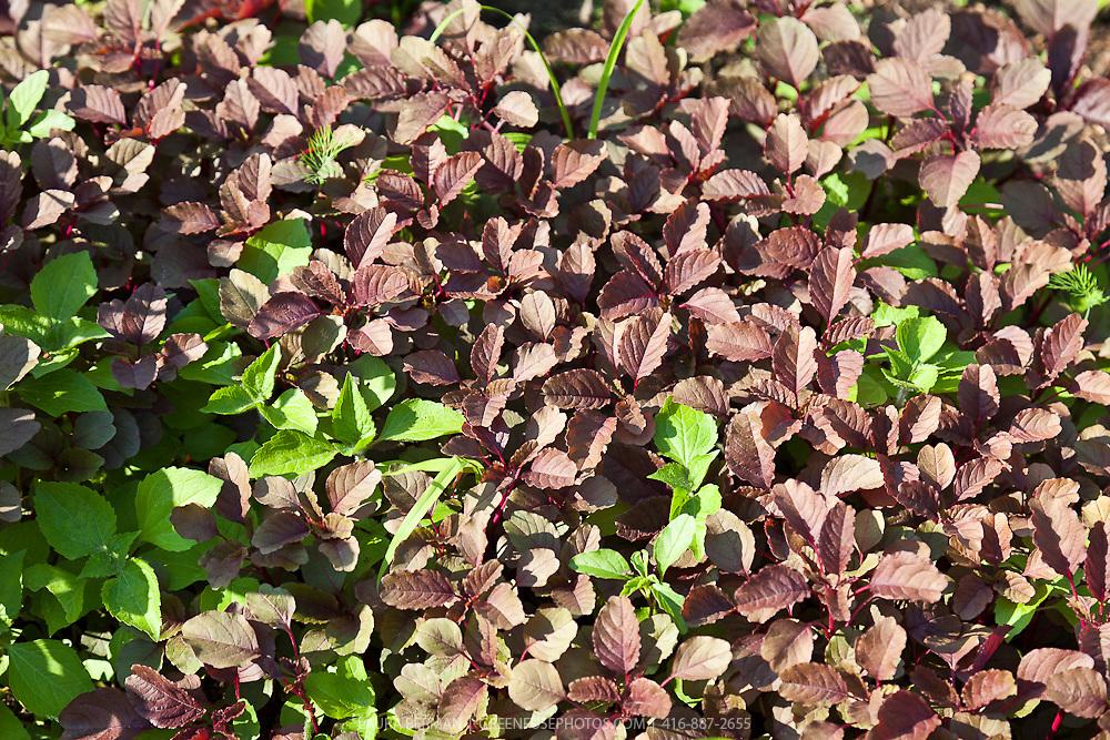 Red Amaranth greens..