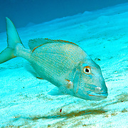 Jolthead Porgy hover just above reefs and adjacent sand areas in Tropical West Atlantic; picture taken Little Cayman.