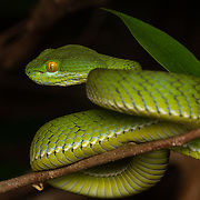 Trimeresurus albolabris, the white-lipped pit viper, is a venomous pit viper species endemic to Southeast Asia.