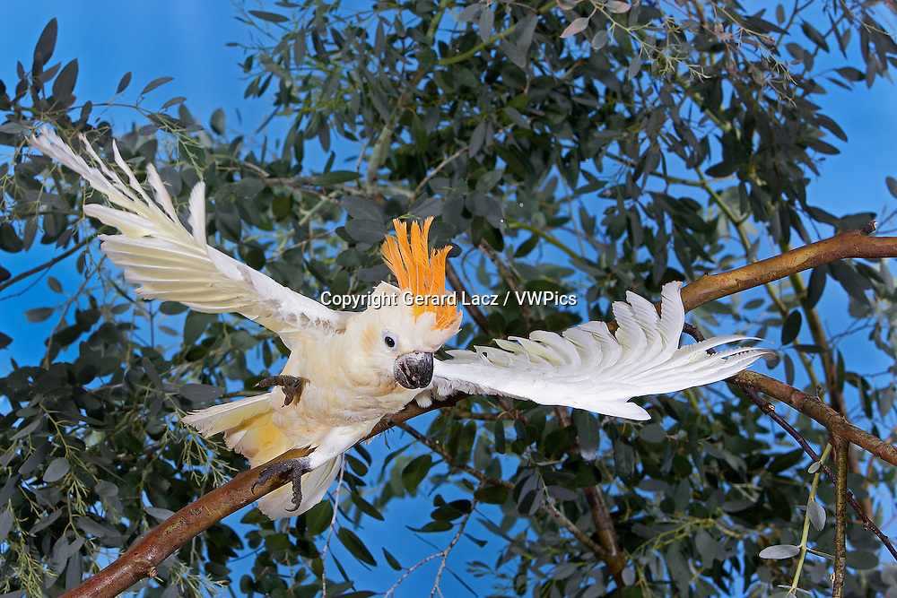 CITRON-CRESTED COCKATOO cacatua sulphurea citrinocristata, ADULT TAKING OFF FROM BRANCH
