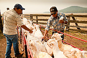 "05 JUNE 2011 - GREER, AZ: Workers at the Sheep Springs Sheep Co summer shearing camp on the Mogollon Rim northwest of Greer inoculate shorn sheep Sunday. Mark Pedersen (CQ), of Sheep Springs Sheep Co, said they drove about 2,000 sheep from Chandler up to their summer pastures near Greer. They were supposed to start shearing on Friday, but didn't start till Friday because of the Wallow Fire. They also run cattle on land southeast of the sheep pasture, closer to Greer. Pedersen said they were prepared to move both the cattle and the sheep if they had to. He said the biggest problem with the smoke was that it bothered the sheeps' lungs much the same way it bother people's lungs. The fire grew to more than 180,000 acres by Sunday with zero containment. A ""Type I"" incident command team has taken command of the fire.   PHOTO BY JACK KURTZ"