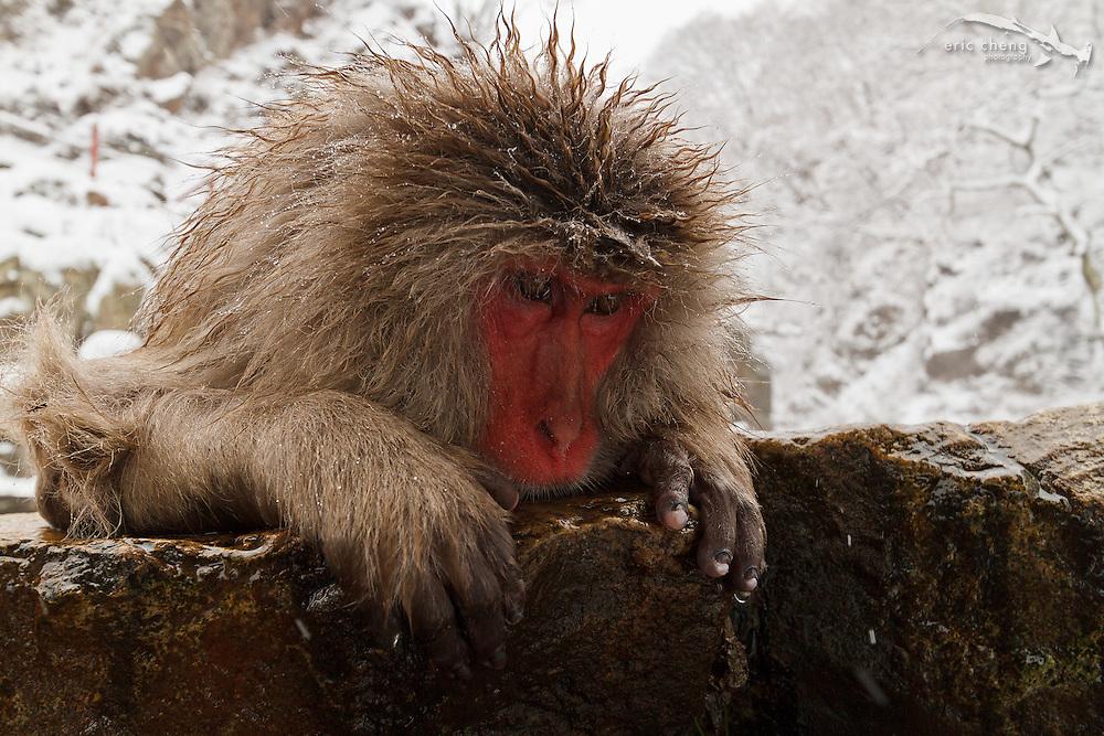 A snow monkey stares over the edge of a hot spring (Japanese macaque, Macaca fuscata). Jigokudani Yaen-Koen near Shibu Onsen, Japan.