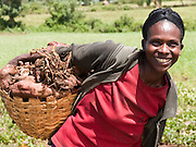 Elfnesh Finta, 35, harvests some sweet potatoes to sell at the market, Boreda, Ethiopia.