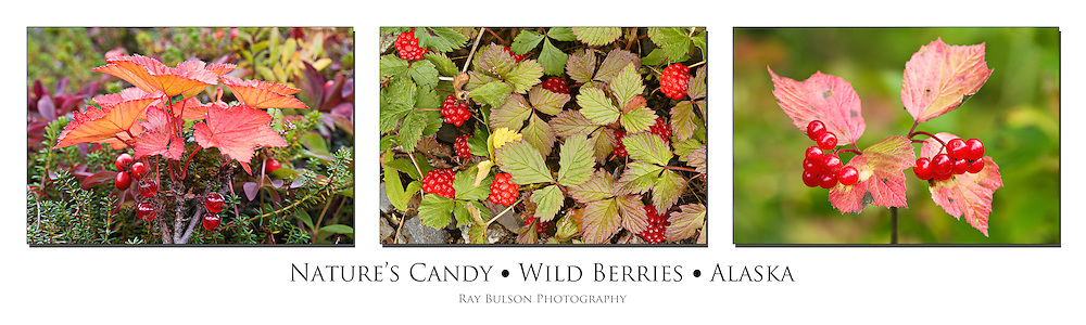 Triptych of Currants (Ribes triste), Nagoonberries (Rubus arcticus), and High Bush Cranberries (Viburnum edule) found in Southcentral Alaska.