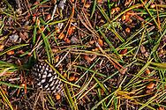 Forest floor detail, Lassen Volcanic National Park, California