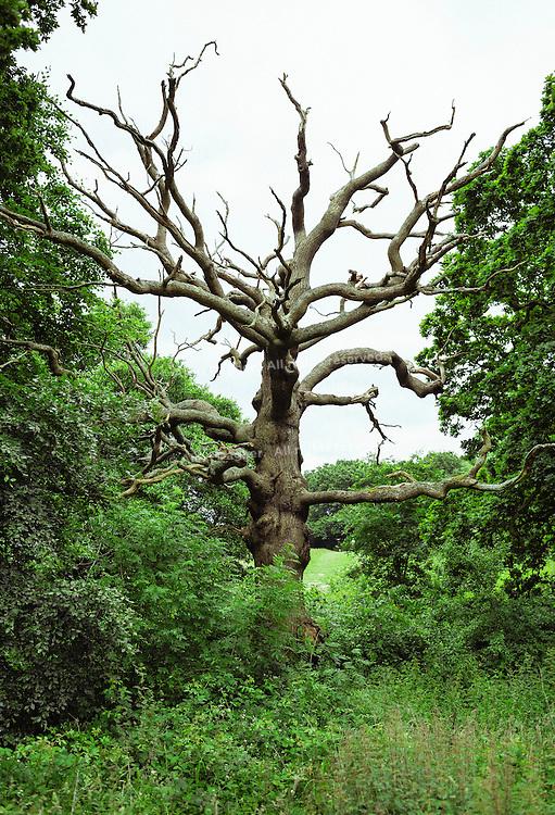 Dead tree on Parliament Hill in Hampstead Heath park - London, England, 2016