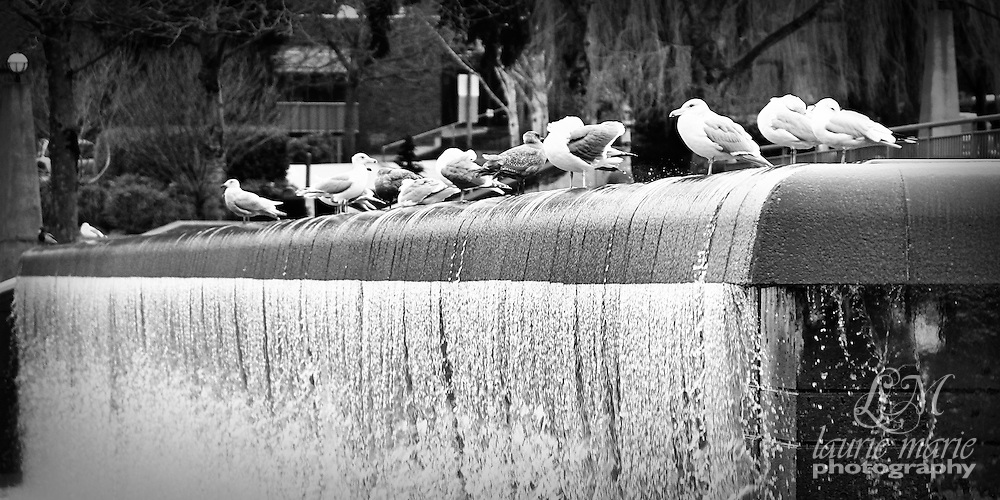 Bellevue, WA Downtown Park waterfall with seagulls - bw 10x20