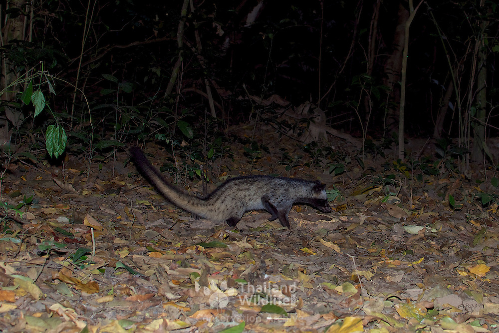 Common Palm Civet, Paradoxurus hermaphroditus, also referred to as the Asian Palm Civet, in Kaeng Krachan National Park, Thailand.
