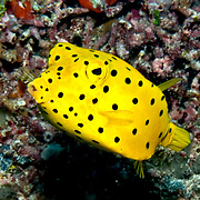 Yellow Boxfish inhabit reefs. Pictue taken Palaui.
