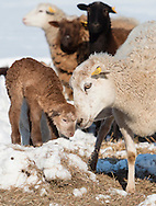 A sheep nuzzles a lamb in a field on a cold winter afternoon at Banbury Cross Farm in Goshen, New York.