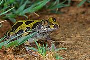 Bubbling kassina (Kassina senegalensis)<br /> Marataba, A section of the Marakele National Park, Waterberg Biosphere Reserve<br /> Limpopo Province<br /> SOUTH AFRICA<br /> HABITAT & RANGE: Grassland around vleis and pans