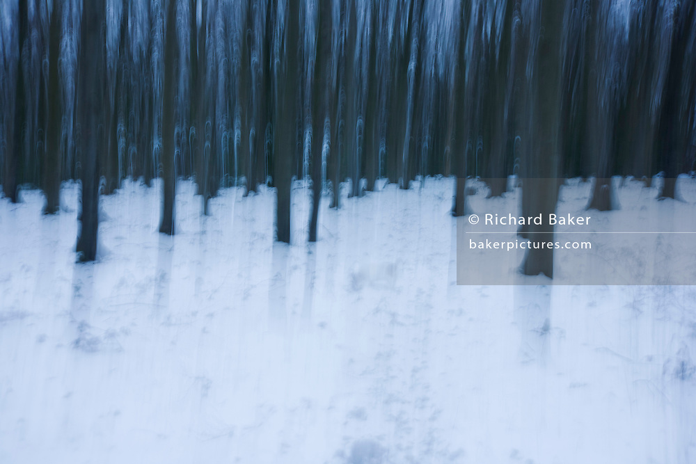 Blurred English woodland landscape of straight trees and winter snows.