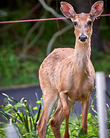 Young doe wondering why I am looking at her. Backyard spring nature in New Jersey. Image taken with a Fuji X-T2 camera and 100-400 mm OIS lens (ISO 200, 400 mm, f/6.4, 1/15 sec).