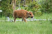 Three days with bears, elk, bison, chipmunks, mountains, deer, fox, waterfalls and geysers!