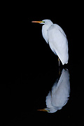 A great egret (Ardea alba), also known as the common egret, or large egret, reflected in water in Izumi no Mori park, ,Yamato, Kanagawa, Japan. Sunday January 5th 2020
