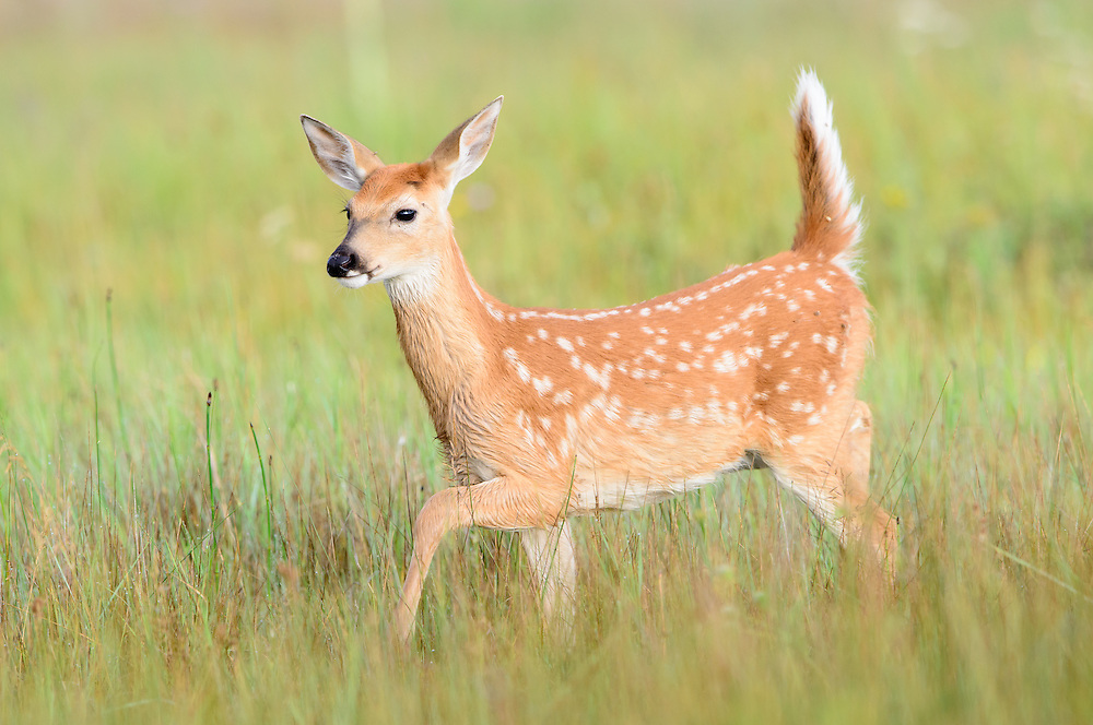 A white-tailed fawn (Odocoileus virginianus) walking through a meadow, Montana