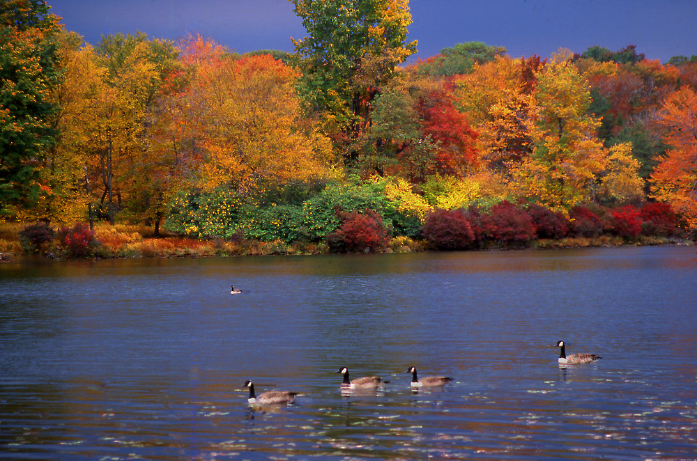 Geese on lake with autumn foliage, Promised Land State Park, Pike County, PA