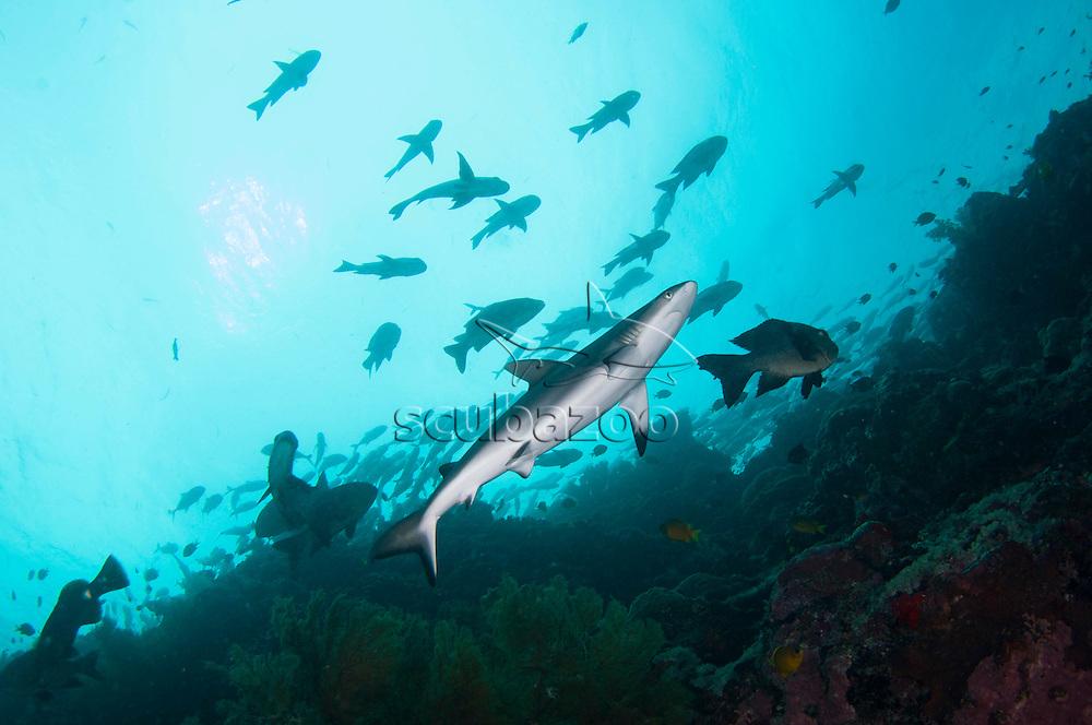 A White-tip Reef Shark, Triaenodon obesus, swimming next to a wall, Sipadan Island, Sabah, Malaysia.