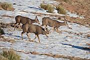 Mule deer (Odocoileus hemionus) buck with one antler tending doe during the rut