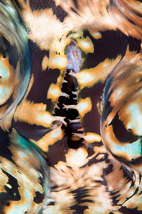Abstract art image of giant clam or tridacna shell underwater,