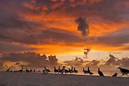 Laysan albatrosses on beach at dawn, Phoebastria immutabilis, Midway Atoll, Hawaiian Leeward Islands