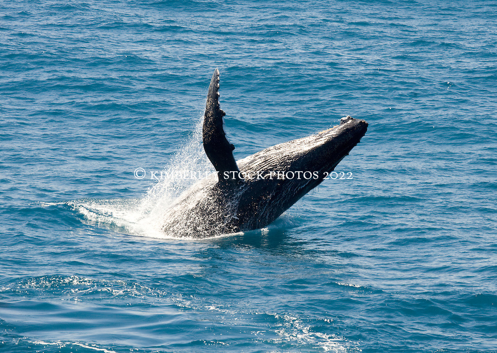 A humpback whale breaches backwards on the Kimberley coast.