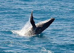 A humpback whale breaches backwards on the Kimberley coast.