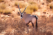 The Oryx (or Gemsbok) (Oryx Gazelle) is a large antelope in the Oryx genus. It is native to the arid regions of Southern Africa, such as the Kalahari. Their fur is pale with contrasting dark markings in the face and on the legs, and their long horns are almost straight. The exception is the scimitar oryx, which lacks dark markings on the legs, only has faint dark markings on the head, has an ochre neck, and horns that are clearly decurved.