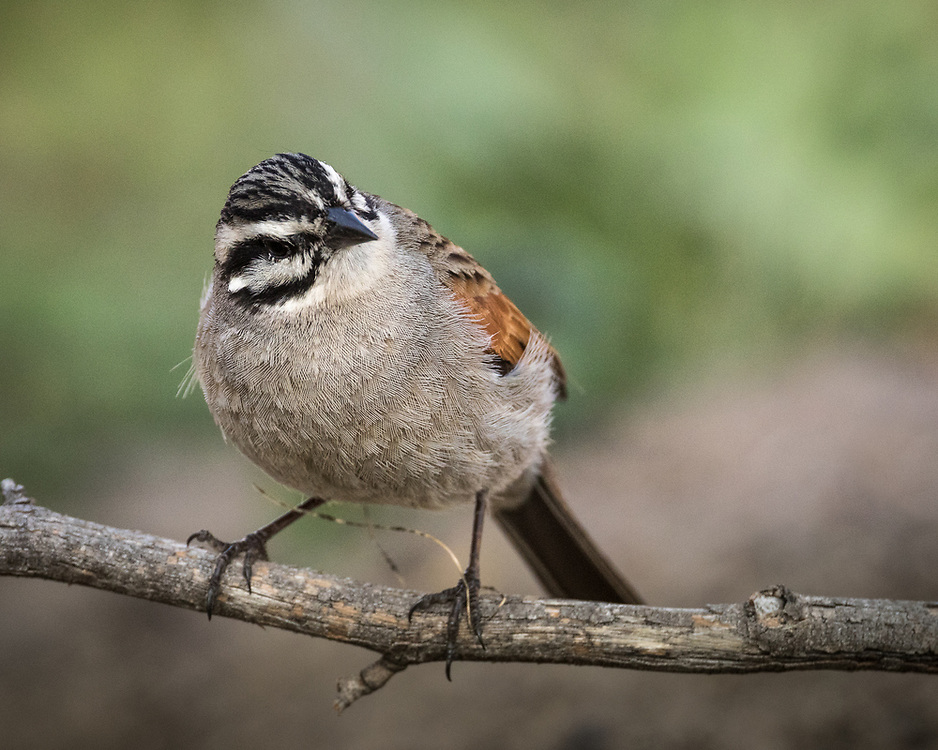 Emberiza capensis, South Africa