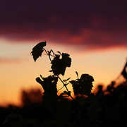 Vines at sunset in the Marlborough Wine Region, Blenheim,  South Island of New Zealand..The Marlborough wine region is New Zealand's largest wine producer. The Marlborough wine region has earned a global reputation for viticultural excellence since the 1970s. It has an enviable international reputation for producing the best Sauvignon Blanc in the world. It also makes very good Chardonnay and Riesling and is fast developing a reputation for high quality Pinot Noir. Of the region's ten thousand hectares of grapes (almost half the national crop) one third are planted in Sauvignon Blanc. Marlborough, New Zealand, 8th February 2011. Photo Tim Clayton
