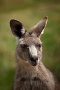 Eastern Grey Kangaroo, bugged by flies while eating grass at Tom Groggins, Mount Kosciuszko National Park
