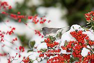 01569-01713 Dark-eyed Junco (Junco hyemlis) in Scarlet Firethorn bush (Pyracantha coccinea) in winter, Marion Co., IL