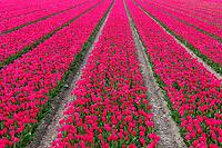 Tulpenfelder, Holand