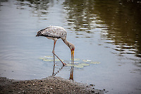 Yellow-billed Stork wading in the shallow waters of a pond in Kruger National Park, South Africa.