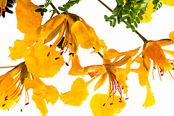 Royal Poinciana -yellow#39