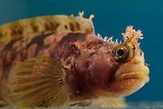 [captive] Yarrell's blenny (Chirolophis ascanii) |  Stachelrückenschleimfisch (Yarrell's blenny) Multimar Wattforum in Tönning