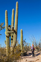 A woman looking up at a tight grouping of saguaro cacti in Saguaro National Park, Arizona, USA.