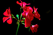 Back lit red flowers on black background