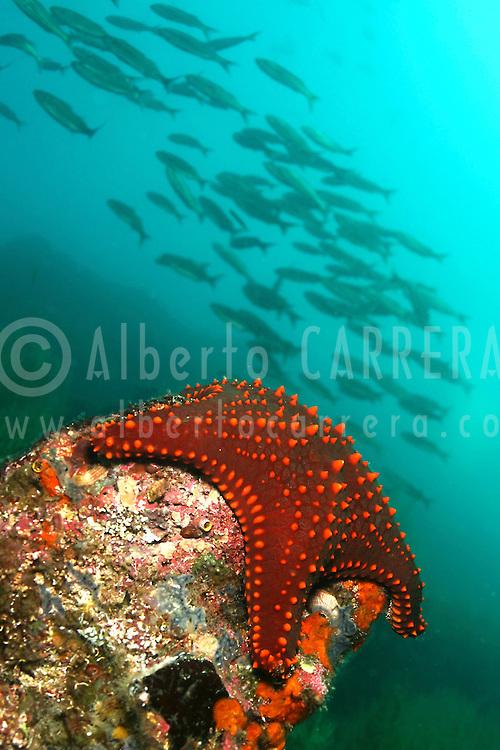 Alberto Carrera, Alberto Carrera, Sea Star, Galápagos Islands, Ecuador, America