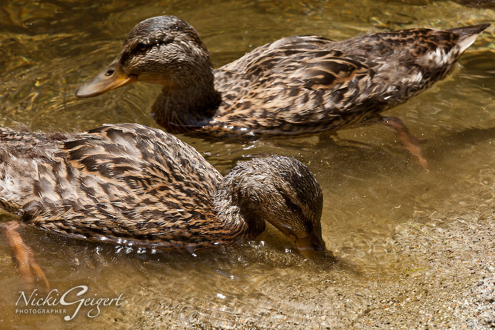 Closeup of Two brown ducks in the water feeding, Yosemite. Wildlife and nature photography prints.