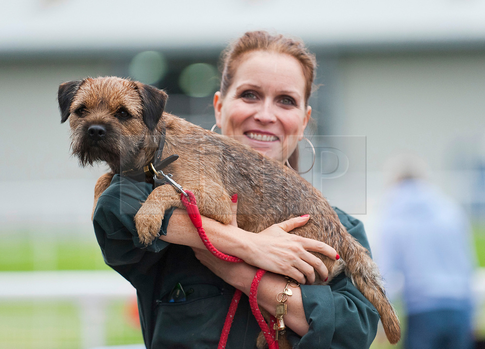 © Licensed to London News Pictures. 18/08/2018. Llanelwedd, Powys, UK. A Border terrier gets carried to the judging ring on the second day of The Welsh Kennel Club Dog Show, held at the Royal Welsh Showground, Llanelwedd in Powys, Wales, UK. Photo credit: Graham M. Lawrence/LNP