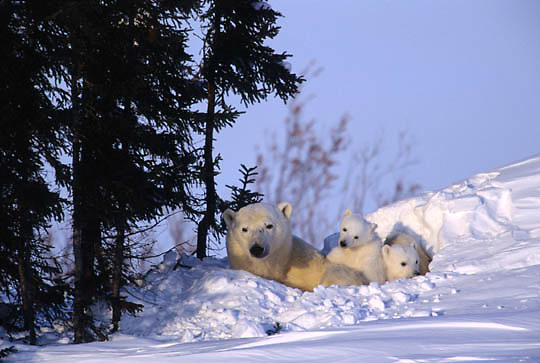 Polar Bear, (Ursus maritimus) Mother with very young cubs resting. Wapusk National Park near Churchill, Manitoba. Canada.