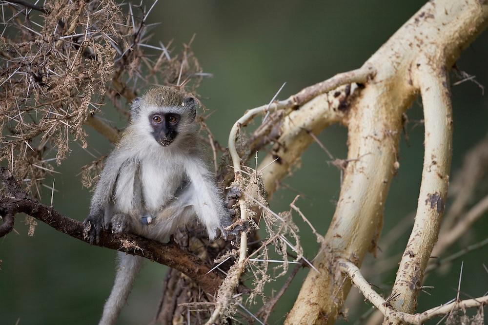 Africa, Tanzania, Lake Manyara National Park, Vervet Monkey (Cercopithecus aethiops)
