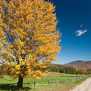 Maple tree with full fall color against a perfect blue sky, on a dirt country road in Vermont.