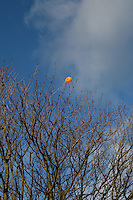 Orange balloon trapped in the trees at The People?s Park in DunLaoghaire Dublin Ireland